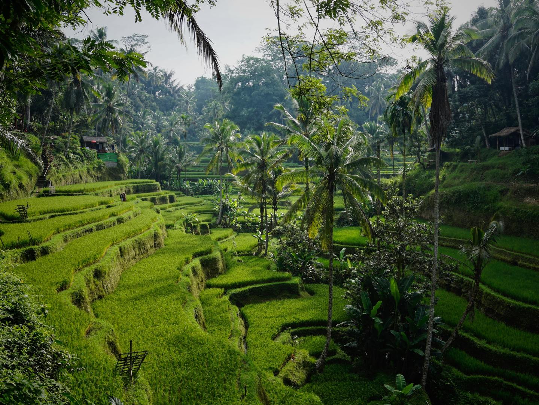 Tegelalang Rice Terraces north of Ubud, Bali