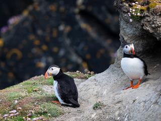 Puffins on the Shetland Islands