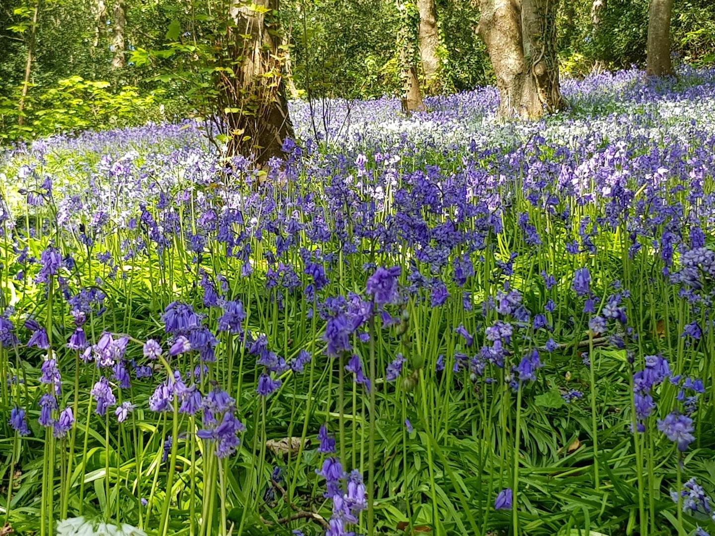 Bluebell woods on the island of Guernsey
